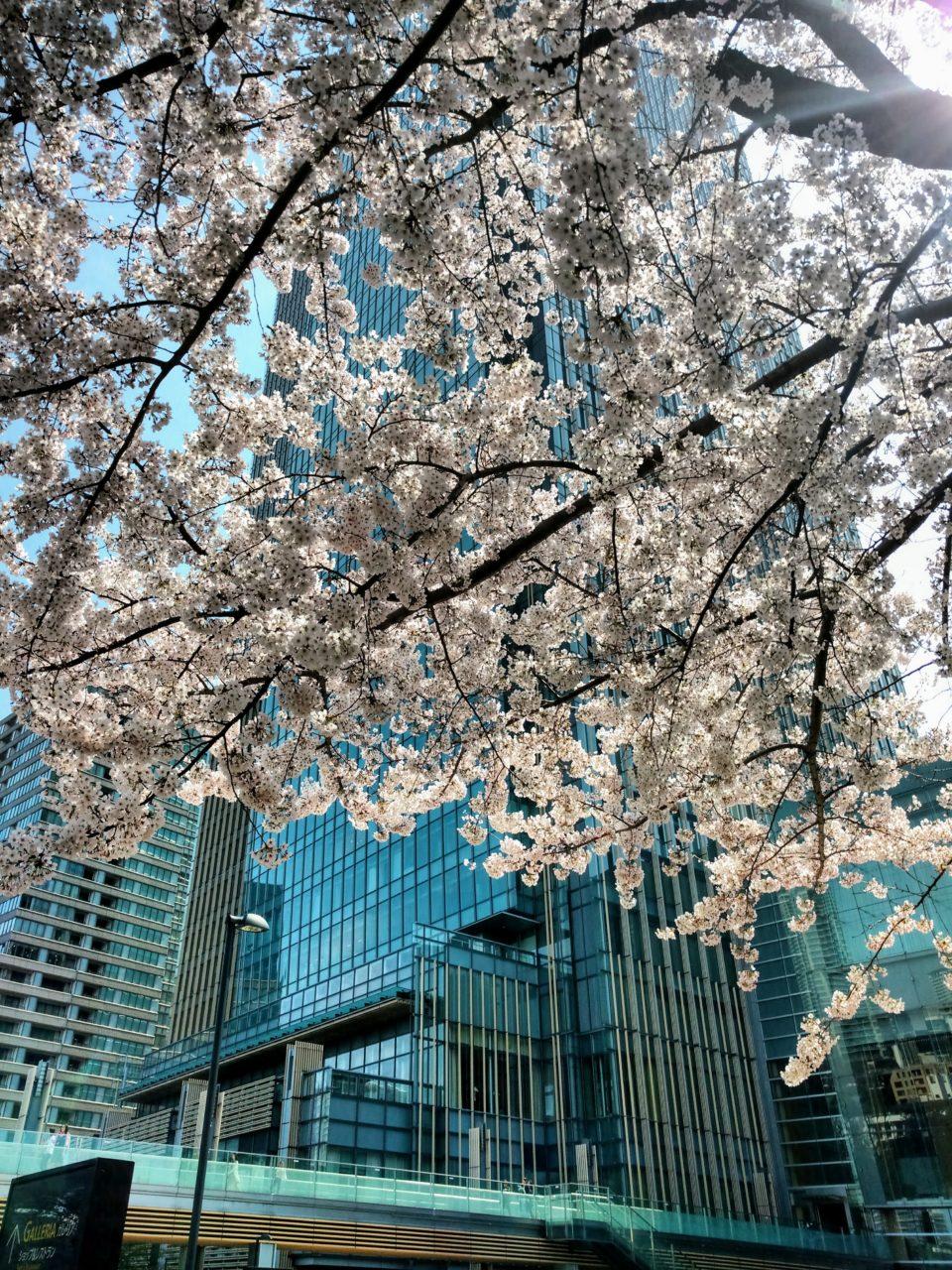 Tokyo Midtown Cherry Blossom Tree
