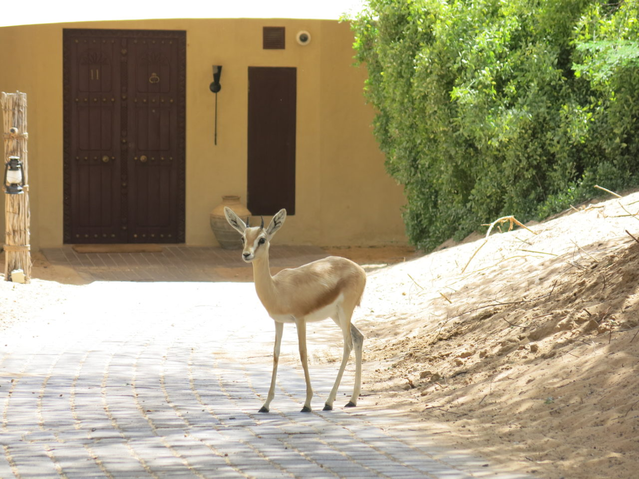 Al Maha gazelle